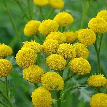 Tanaisie (Tanacetum vulgare)  utiliser la tanaisie au jardin