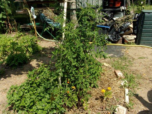 Le jardin début juillet 2018 légumes suite