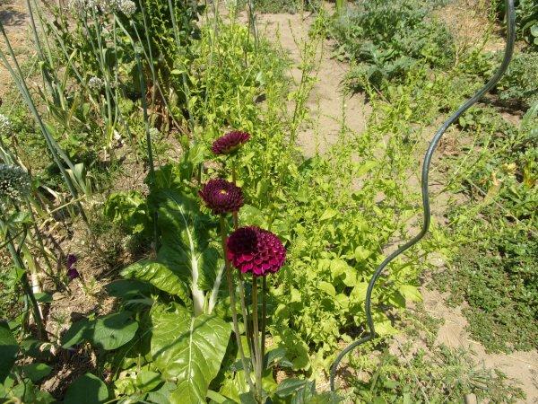 Le jardin début juillet 2018 les fleurs....