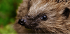 Fondation pour la Nature et l'Homme 17 avril 2017 ·  Saviez-vous que le hérisson est une espèce protégée par la loi depuis depuis le 17 avril 1981 ?