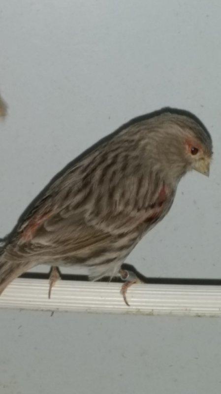 femelle brune mosaique rouge