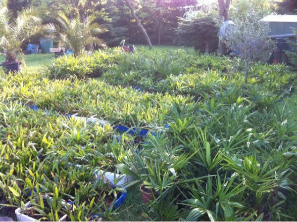mes palmiers