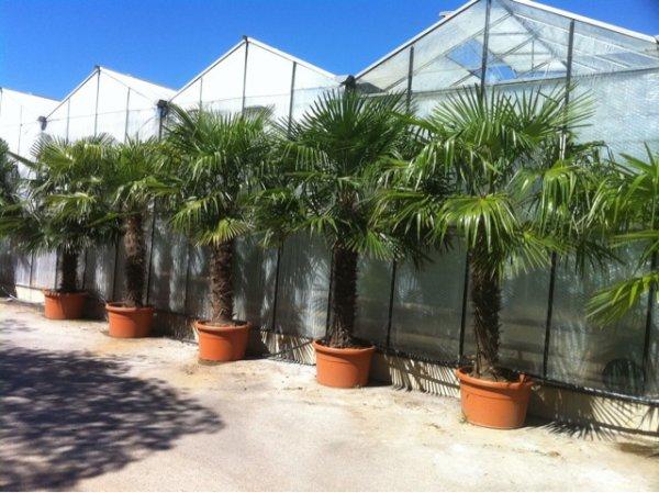 un autre pro de palmiers
