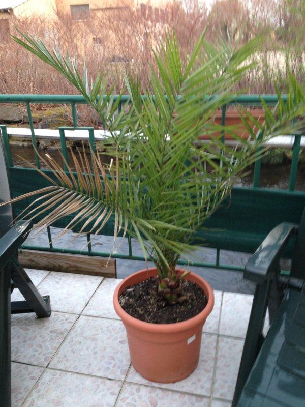 Voici le palmier dattier