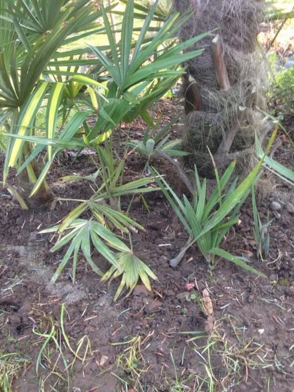 Protection de certain palmiers enlever