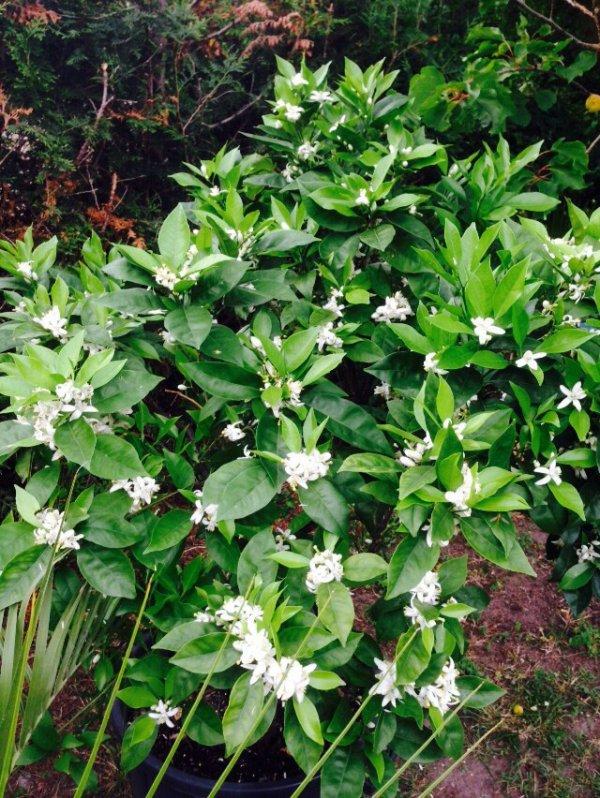 Floraison oranger
