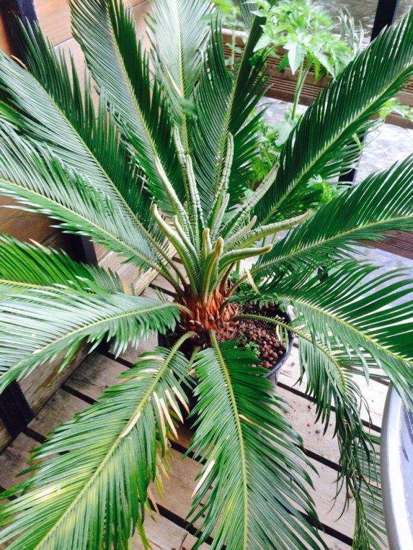 Cycas qui n est pas un palmier