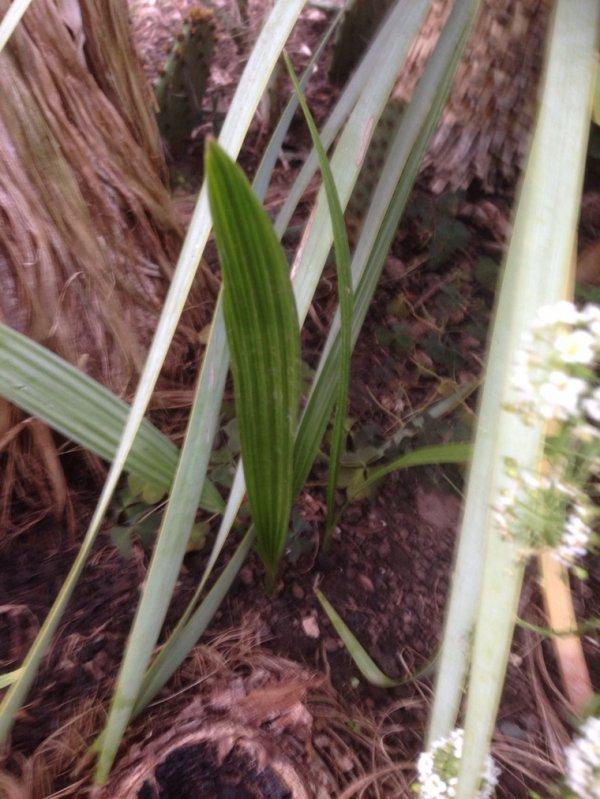 Semis de ph½nix qui vont passer leur2 eme hiver