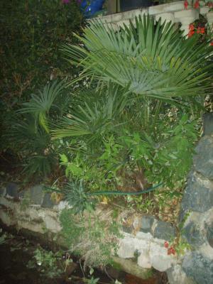 palmier planter en pleine terre les palmiers. Black Bedroom Furniture Sets. Home Design Ideas
