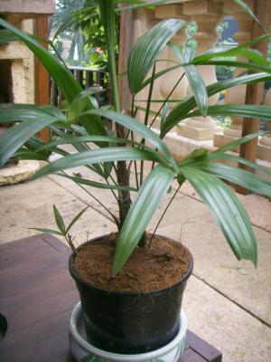 Palmier d 39 interieur rhaphis excella les palmiers for Mal etre interieur