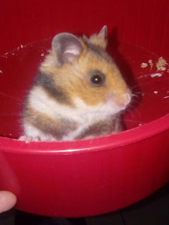 Nouveau,hamster