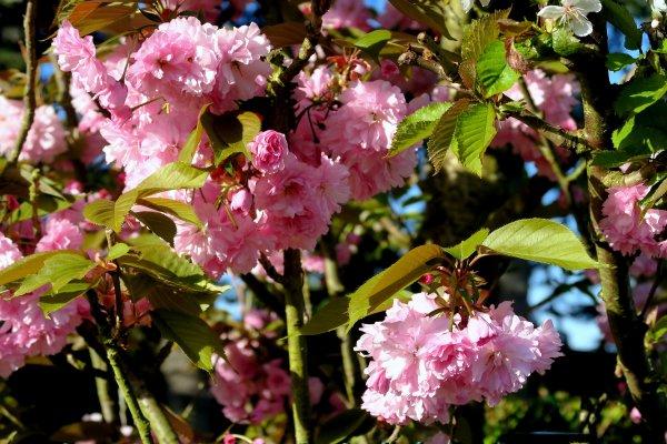 A2104 : Belle ballade à Charly, entre pommiers et poiriers en fleurs !