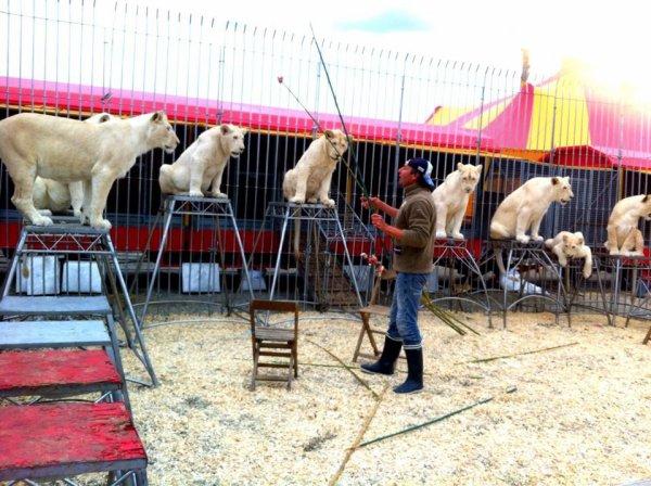 Nouveau spectacle de frédéric EDELSTEIN en préparation, environ 15 lions blancs!