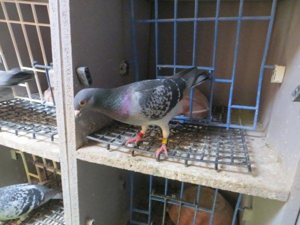 le pigeon pour luca