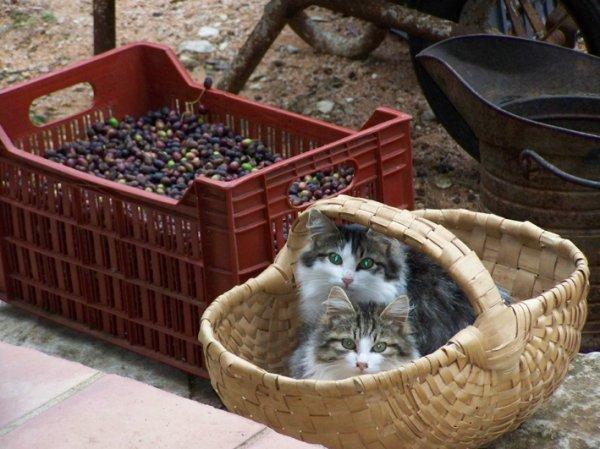Chats et olives