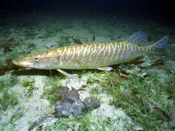 Lâcher de brochets Lac du Four De Louge Muret