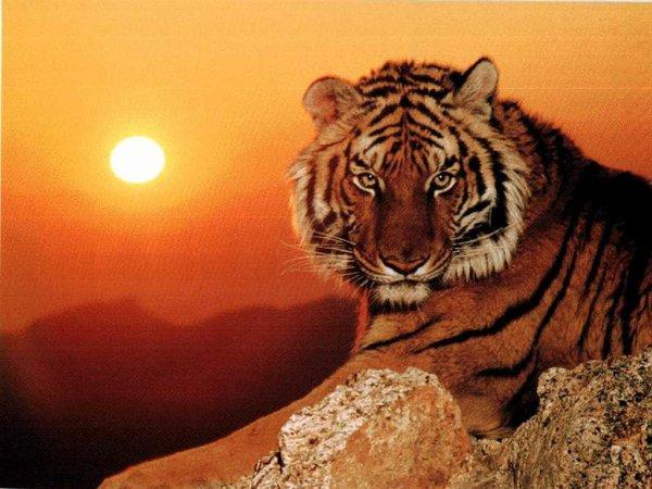 (l) les tigres (l)