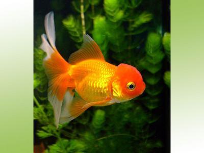 Poisson rouge animoland for Acheter poisson rouge en gros