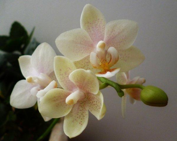 orchidée  2ème floraison