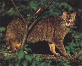 Apparence  gros chat au pelage jaune pâle à gris foncé et aux rayures peu  marquées. La queue du chat sauvage est très épaisse, elle est annelée et  forme un