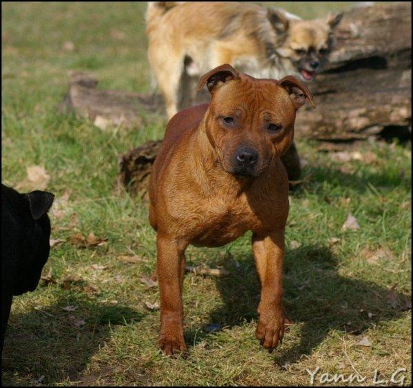 Gaya, Staffordshire Bull Terrier, âgée de 12 mois