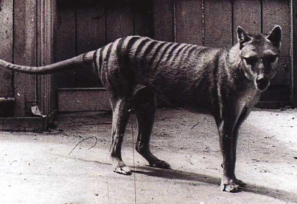 Le Tigre de Tasmanie