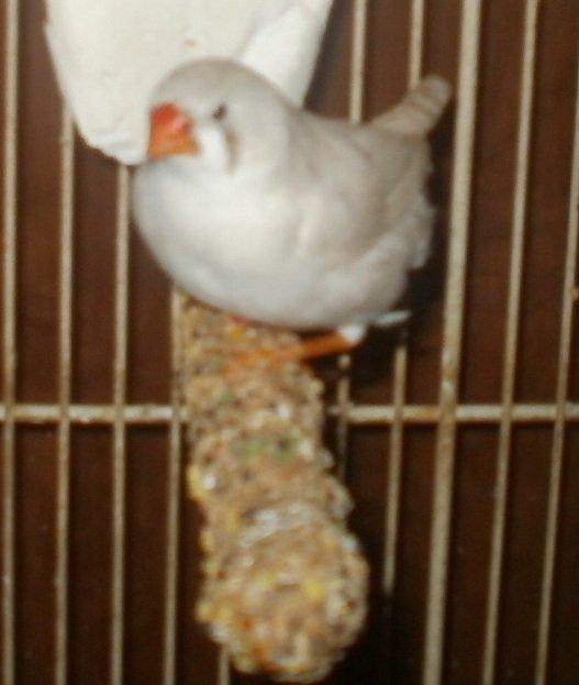 Ma Femelle Mandarin Blanche