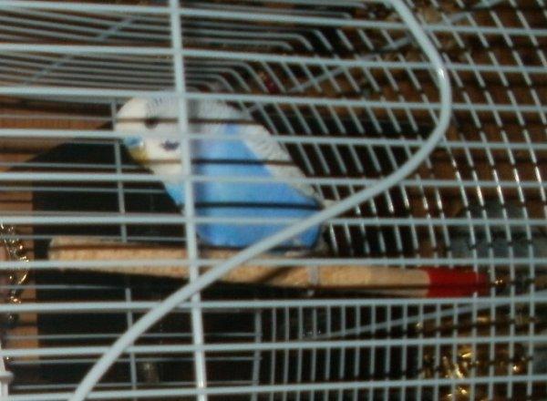 Ma Peruche Ondulé ( Male)
