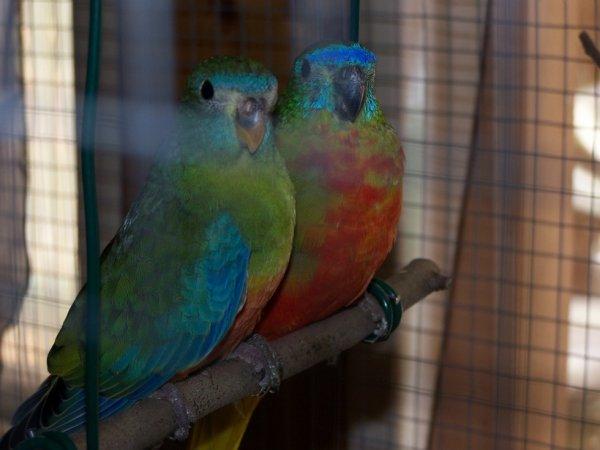 des nouvelles arrivantes mon couple de peruche turquoisine!!!