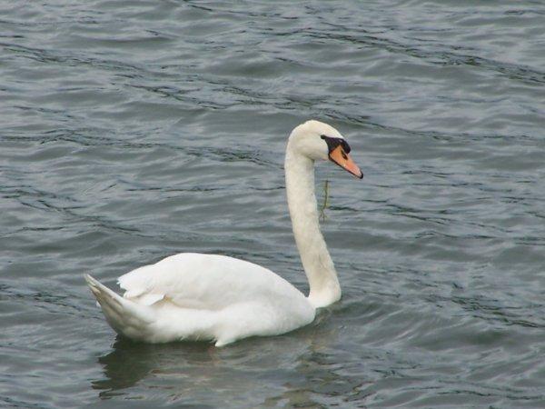 un cygne dans le lac a coté de chez moi !!