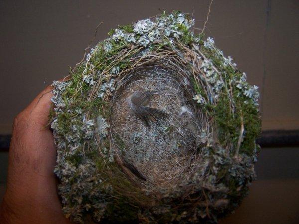 un nid que j'ai récupéré pour mes futures canaries que j'envisage d'acheter.