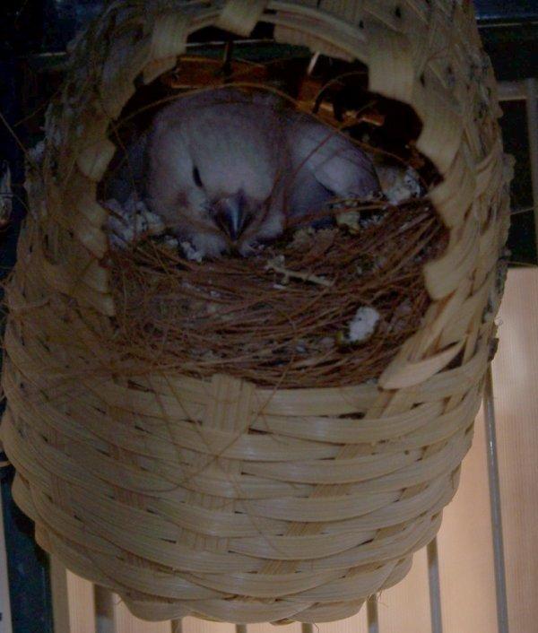 1er bébé mandarin femelle a face blanche