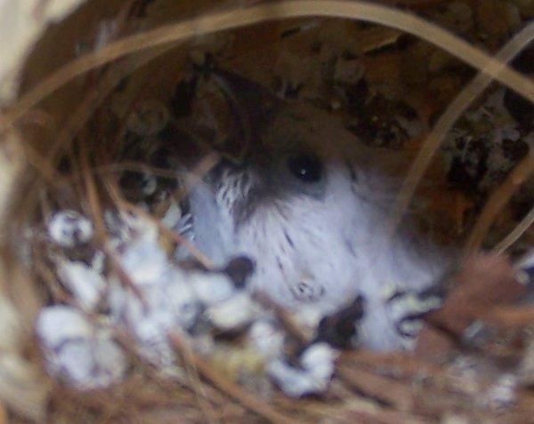 2ème bébé mandarin a face blanche quelques jours de décalage du coup j'aurrais 2 femelles comme la mère