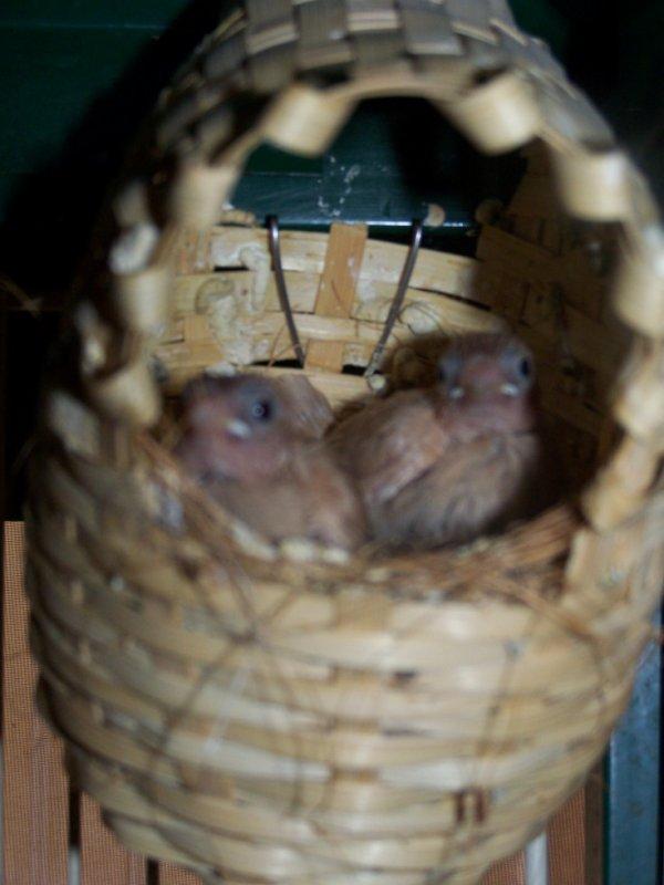 mes 2 bébés moineaux du japon qui sorte leurs petites tete du nid les curieux ^^