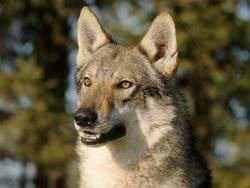 Le chien-loup tchèque