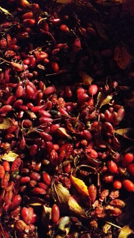 Hier, balade découverte des baies d'automne avec nos amis Marie et Yves.. .