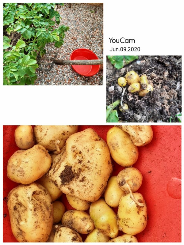 Récolte des pommes de terre de consommation germées
