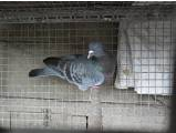 hybride ramier x pigeon domestique ou palombe x pigeon domestique