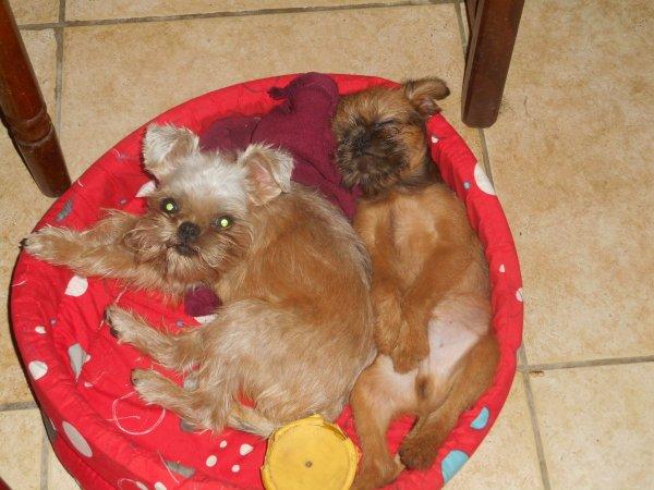 Lovely Zeephee et Léon : les griffons bruxellois