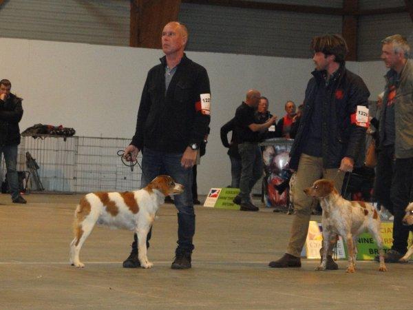 Expo de Rennes, spéciale Epagneul Breton : des Excellents pour les trois chiens engagés , Lyne et Iwen en classe ouverte femelle et Ipso en classe ouverte mâle