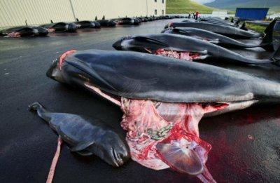 au japon la chasse a la baleine est pratique courante...
