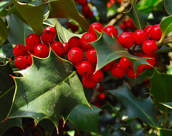 Petit rappel avant les fêtes (plante toxique)