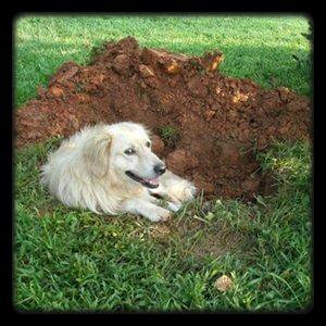 Mon chien creuse dans mon jardin.
