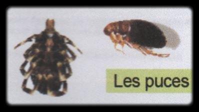 Anti-parasitaire externe 1 Les Puces.