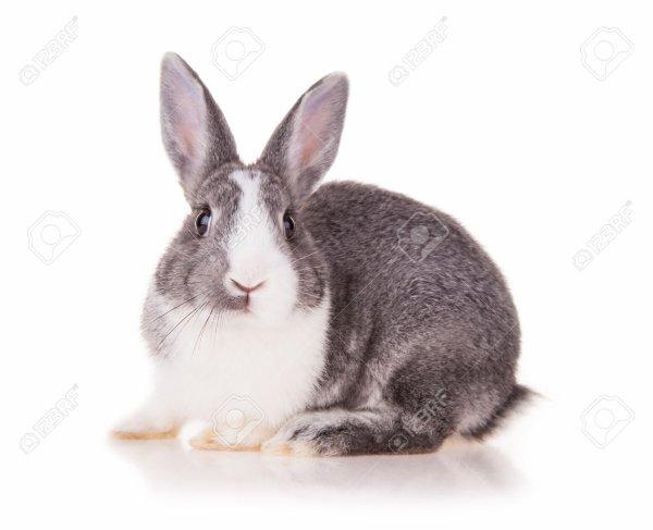 Le lapin c'est quoi ?