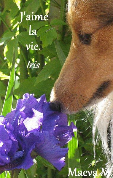 Quand Iris shetland rencontre Iris fleur !!!