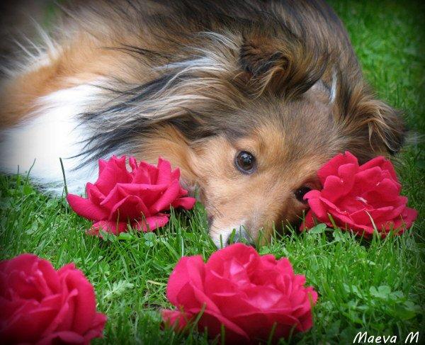 Iris au pays des roses rouges