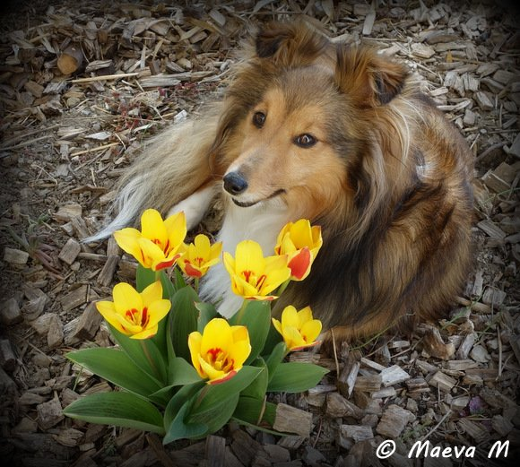 Iris et les crises d'épilepsie du chien