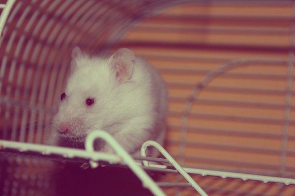 27 Août   Yarayi ( nouveau hamster )