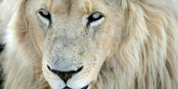 Plusieurs lions empoisonnés en  Afrique du Sud !!